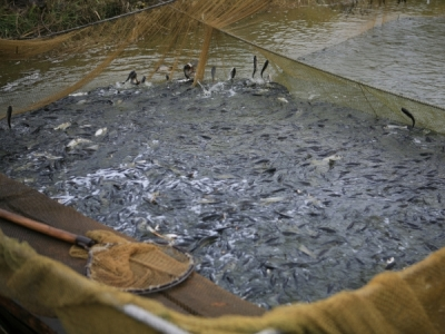 Протягом жовтня у водні об'єкти Харківської області вселили 90 тис. екз. рослиноїдних видів риб
